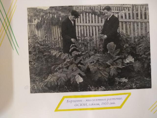 Выращивание борщевика Сосновского в 1955 году, г. Кола