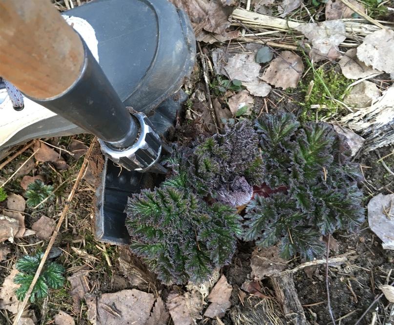 Выкапывание борщевика весной